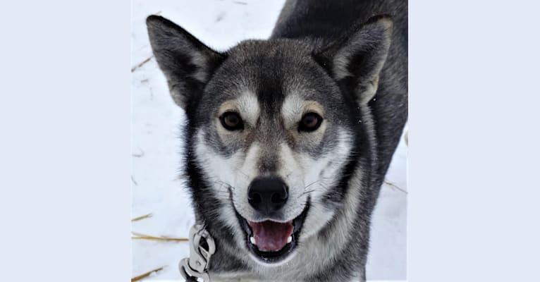 Photo of Tamarack, a Siberian Husky  in 1431 County Road A, Phelps, WI, USA