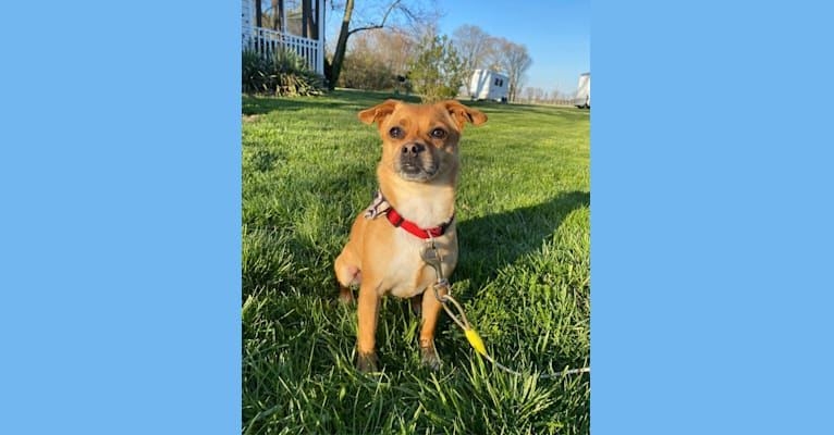 Photo of Stitch, a Rat Terrier, Pekingese, and Pomeranian mix in West Lafayette, IN, USA