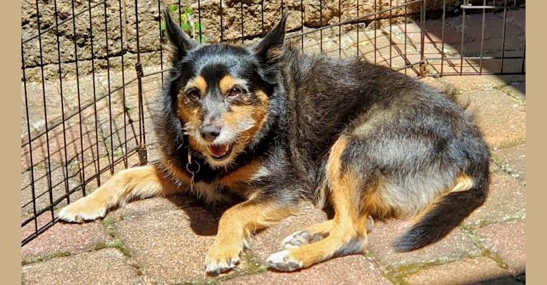 Photo of Baylee, a Yorkshire Terrier, German Shepherd Dog, Cocker Spaniel, and Miniature Pinscher mix in Sisseton, South Dakota, USA