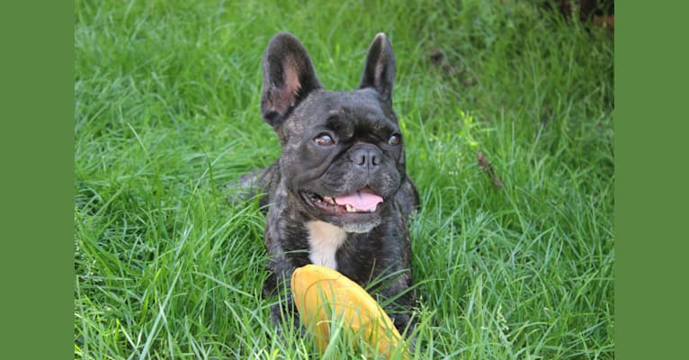 Photo of Lola, a French Bulldog  in France