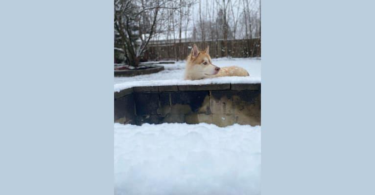 Photo of Kiba, a Siberian Husky and German Shepherd Dog mix