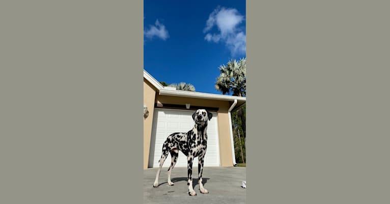 Photo of Riggs, a Dalmatian  in North Carolina, USA