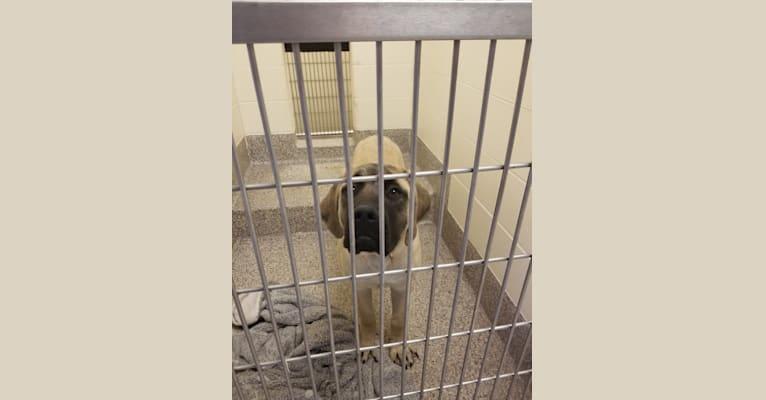Photo of Poppy, a Mastiff  in Emmett, Michigan, USA