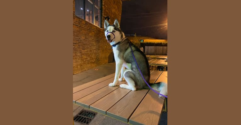 Photo of Lyla, a Siberian Husky  in Charlotte, North Carolina, USA