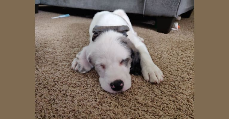 Photo of Bruno, a Basset Hound, American Pit Bull Terrier, Australian Shepherd, and Mixed mix in Lexington, MI, USA