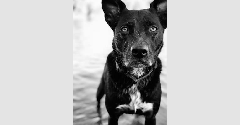 Photo of Scout, an American Pit Bull Terrier, Labrador Retriever, Boxer, American Staffordshire Terrier, Golden Retriever, and Mixed mix in Sacramento, California, USA