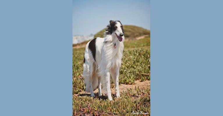 Photo of Falkor, a Silken Windhound