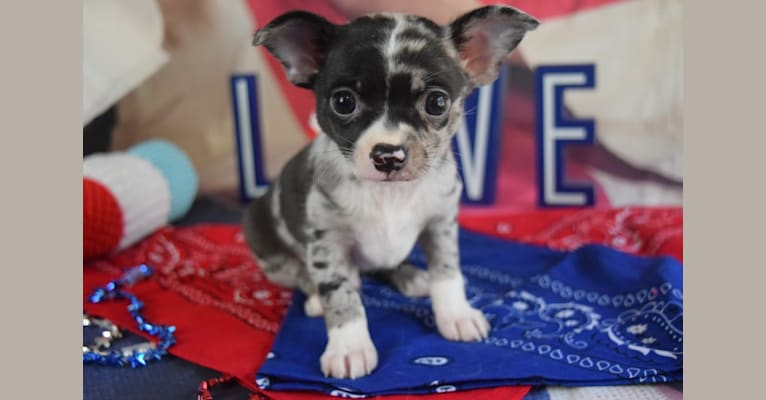 Photo of Neville, a Chihuahua  in Klamath Falls, OR, USA