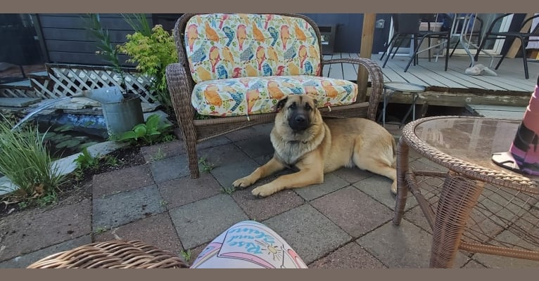 Photo of Bear, a German Shepherd Dog, Australian Cattle Dog, and Siberian Husky mix in Spokane, Washington, USA