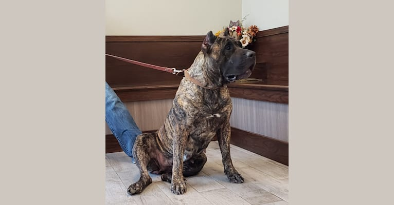 Photo of Zia, a Perro de Presa Canario  in Illinois, USA