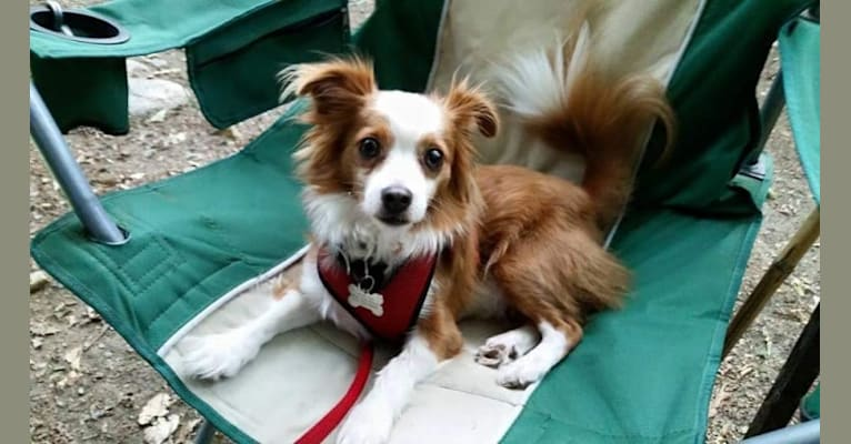 Photo of Hamilton, a Rat Terrier, Lhasa Apso, Chinese Crested, and Pekingese mix in Kentucky, USA