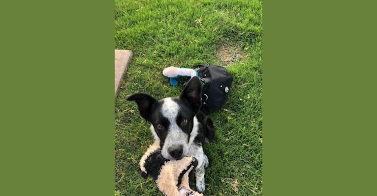 Photo of Boudreaux, an Australian Cattle Dog, Australian Shepherd, and Border Collie mix in Alvord, Texas, USA