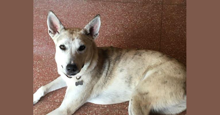 Photo of Roksanna, an American Pit Bull Terrier, Siberian Husky, and Alaskan Malamute mix in Westwego, Louisiana, USA