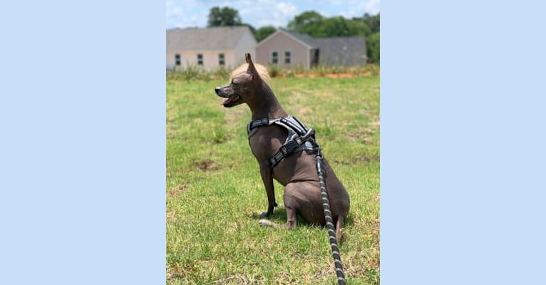 Photo of Pearl, a Xoloitzcuintli  in Atlanta, GA, USA
