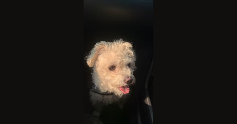 Photo of Leo Agustin, a Poodle (Small), Yorkshire Terrier, Chihuahua, Bichon Frise, and Mixed mix in Los Angeles, California, USA