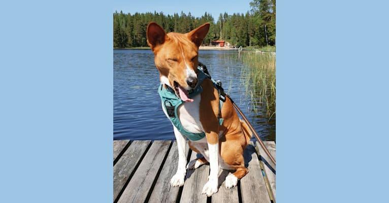 Photo of Kokko, a Basenji  in HKI, Suomi