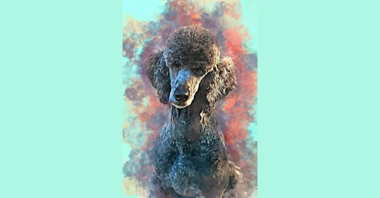 Photo of Spirit Rare Element, a Poodle (Standard)  in Minneapolis, MN, USA