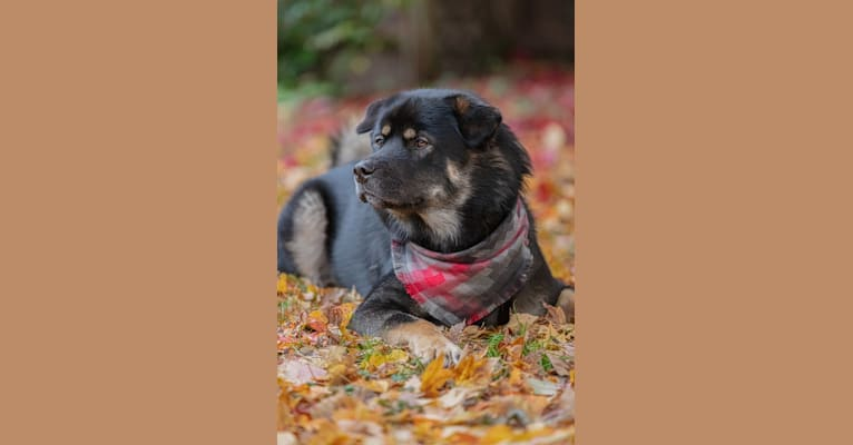 Photo of Kaiju Bear, an Akita and Alaskan Malamute mix in Seattle, Washington, USA