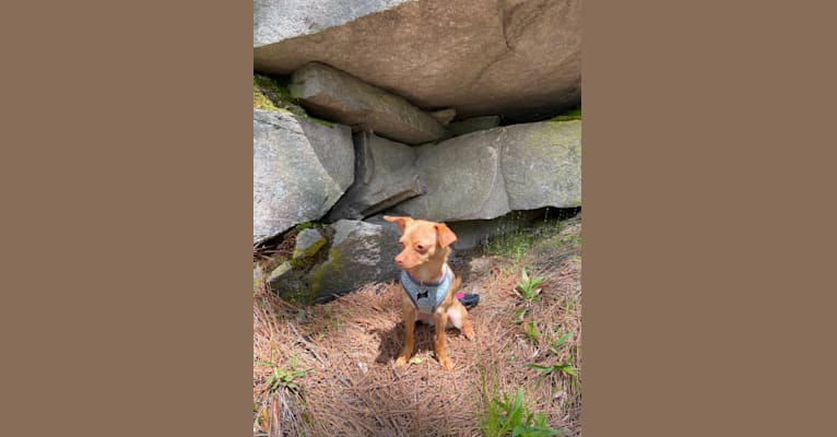Photo of Lucy, a Chihuahua, Yorkshire Terrier, Poodle (Small), Shih Tzu, and Mixed mix in Stone Mountain, Georgia, USA