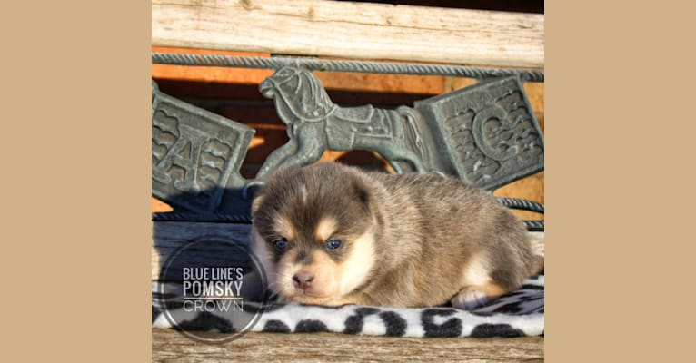 Photo of Crown (Whiskey's Pup), a Pomsky