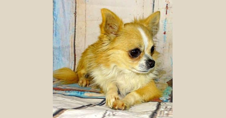 Photo of Nacho, a Chihuahua