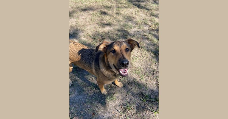 Photo of Harvey, an Australian Cattle Dog, Boxer, English Springer Spaniel, and Mixed mix in Harris County, TX, USA