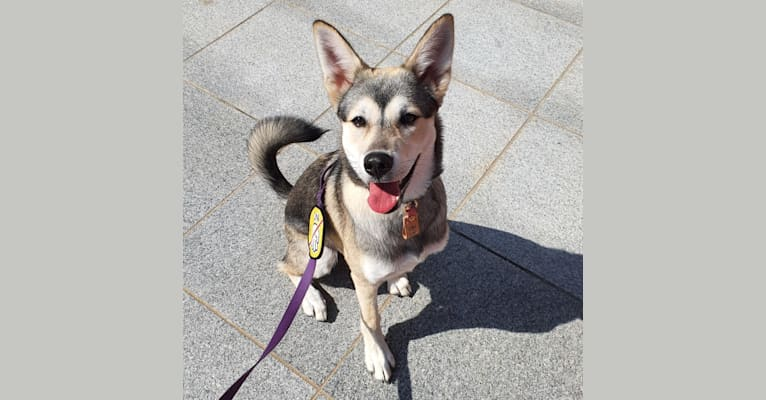 Photo of Doyoon, a Japanese and Korean Village Dog and Jindo mix in 연기군, 대한민국