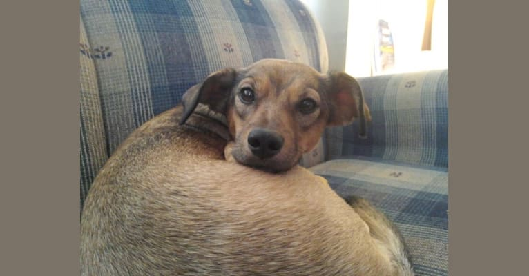 Photo of Nala, a Beagle, Norwegian Elkhound, Treeing Walker Coonhound, and Mixed mix in Pennsylvania, USA
