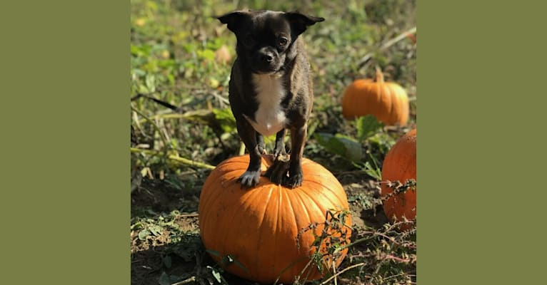 Photo of Ocho, a Chihuahua, Pug, and Pomeranian mix in Syracuse, New York, USA