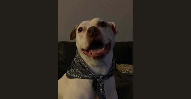 Photo of Kane Canchucaja, an American Pit Bull Terrier, Boxer, and Mixed mix in San Diego, CA, USA