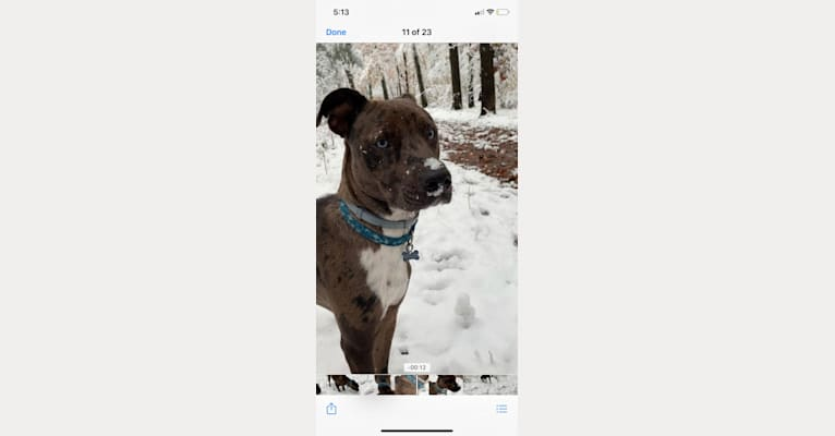 Photo of Atticus, an Australian Cattle Dog, American Pit Bull Terrier, American Staffordshire Terrier, Boxer, and Mixed mix in Alabama, USA