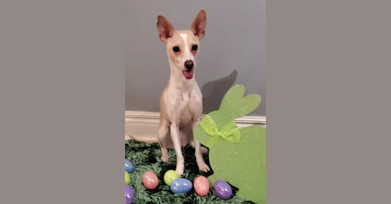 Photo of California Sun, a Russell-type Terrier, Chihuahua, Shetland Sheepdog, and Mixed mix in 255 Elizabeth St E, Listowel, ON, Canada