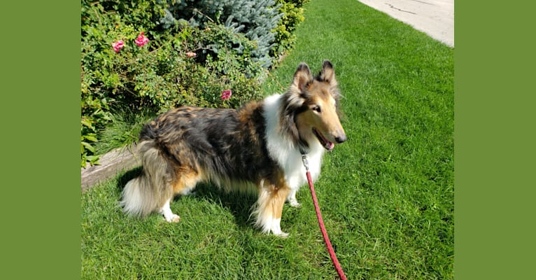 Photo of Harry, a Collie  in Greenfield, Wisconsin, USA