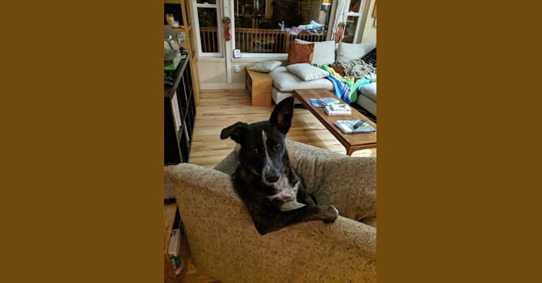 Photo of Persy (Persimmon), an Australian Cattle Dog, Australian Shepherd, Great Dane, and Mixed mix in Sparks, NV, USA