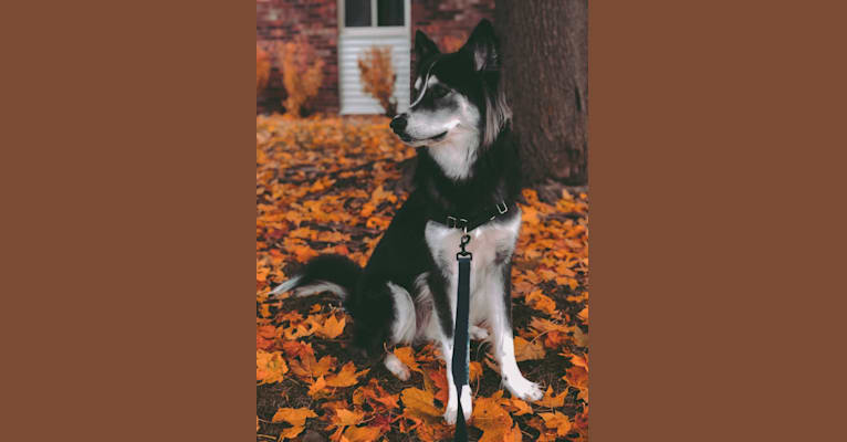 Photo of Koda, a Siberian Husky and Rottweiler mix in 3213 Durango Drive, Pearland, TX, USA