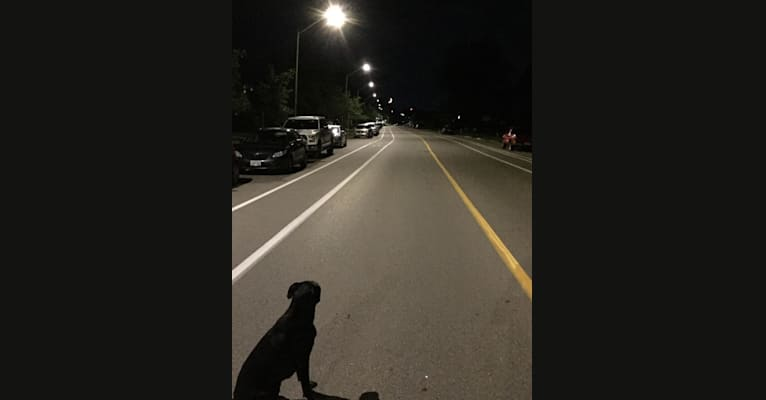 Photo of George, a Boston Terrier, Great Dane, Labrador Retriever, and American Pit Bull Terrier mix in Ontario, Canada