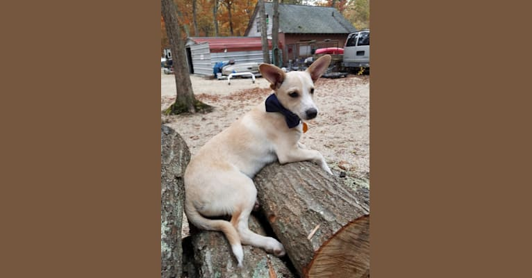 Photo of Odie, a Miniature Pinscher, Australian Shepherd, Chow Chow, Collie, and Mixed mix in West Virginia, USA