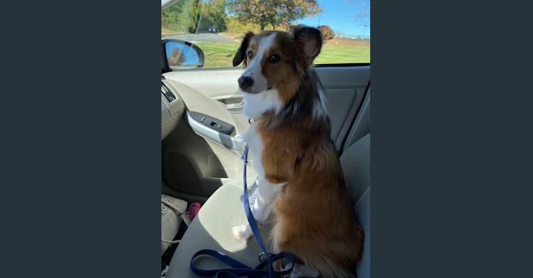 Photo of Rocket, a Shetland Sheepdog, Collie, Chihuahua, Yorkshire Terrier, Saint Bernard, and Mixed mix in Philadelphia, Pennsylvania, USA