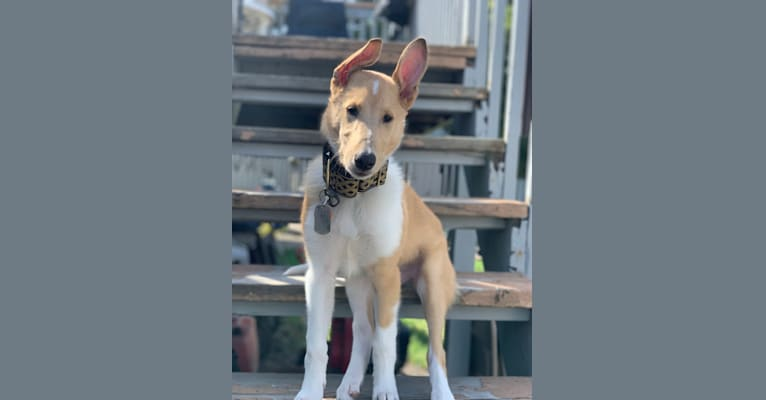 Photo of Eskil, a Collie  in Washougal, WA, USA