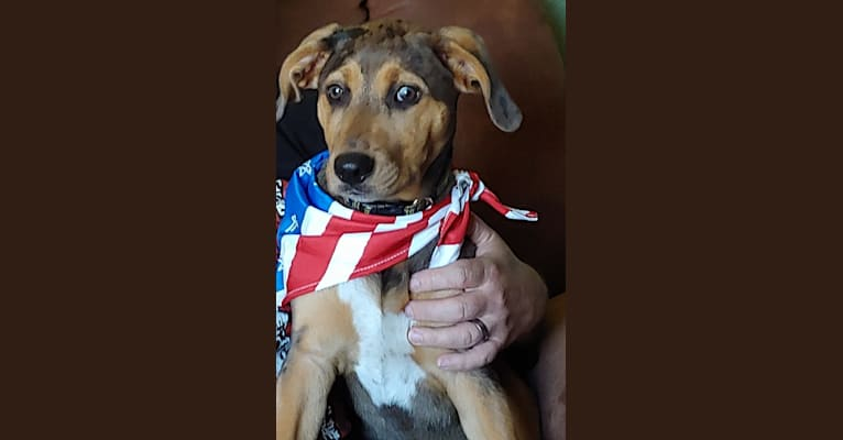 Photo of Ramen Noodle, an Australian Cattle Dog, Catahoula Leopard Dog, American Pit Bull Terrier, Labrador Retriever, and German Shepherd Dog mix in Tecumseh, Michigan, USA