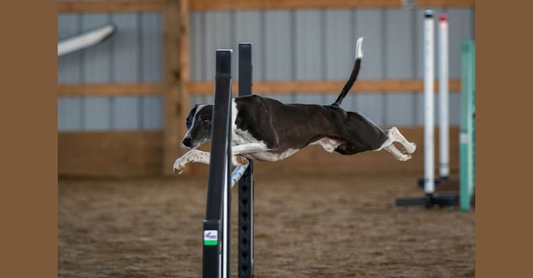 Photo of Dizzy, a Whippet  in Saint-Jean-sur-Richelieu, Quebec, Canada