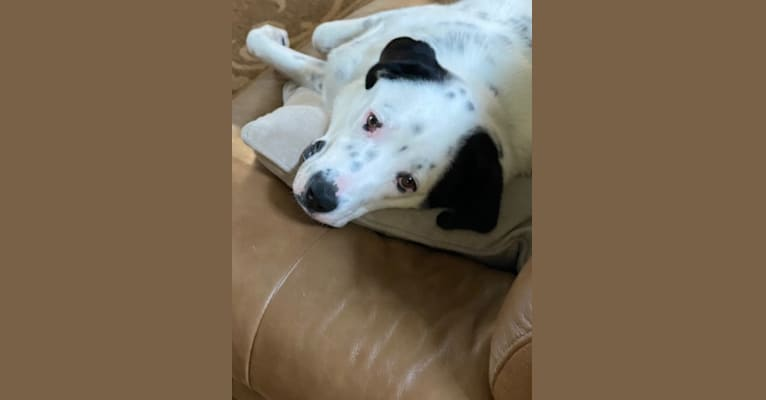 Photo of RIVER, a Great Pyrenees, Boxer, Australian Cattle Dog, and Mixed mix in Alabama, USA