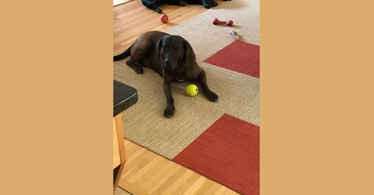 Photo of Sam, a Redbone Coonhound, Labrador Retriever, and Mixed mix in Annandale, Virginia, USA