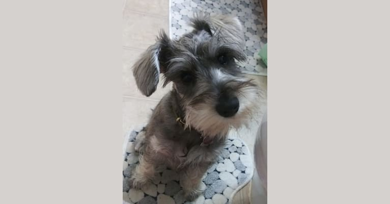 Photo of Scamp, a Miniature Schnauzer  in Cushing, MN, USA
