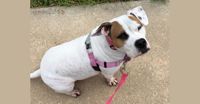 Photo of Jazzy, an American Pit Bull Terrier, Bulldog, and American Staffordshire Terrier mix in Pennsylvania, USA
