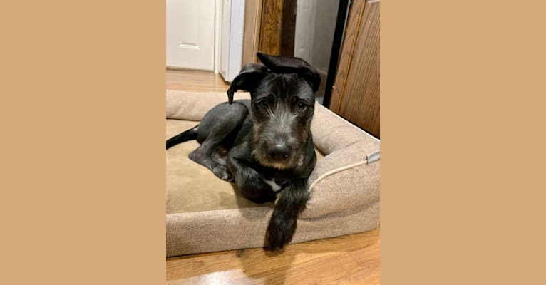 Photo of Wrigley, an American Pit Bull Terrier, Poodle (Standard), Labrador Retriever, and American Staffordshire Terrier mix in St Amant, Louisiana, USA