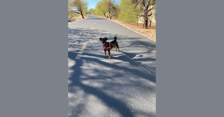 Photo of Pepper, a Miniature Schnauzer, Poodle (Small), and Mixed mix in Tucson, Arizona, USA