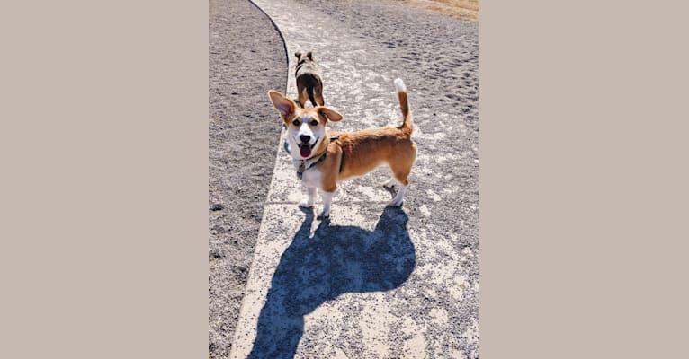 Photo of Ginger, a Pembroke Welsh Corgi, Alaskan Malamute, and German Shepherd Dog mix in Stafford, Virginia, USA