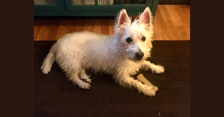 Photo of Macy Doom, a West Highland White Terrier  in Missouri, USA