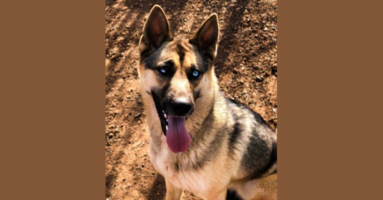 Photo of Tanza, a Siberian Husky and German Shepherd Dog mix in Australia